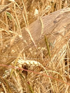 corn with spider sussex