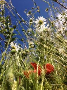 fieldflowers